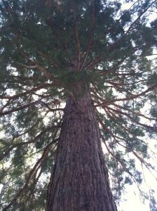 California Giant Sequoia
