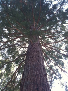 California Giant Sequoia